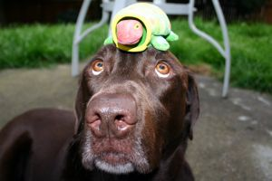 labrador_with_turtle